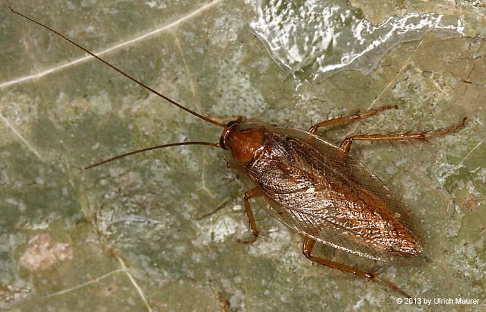 sind schaben kakerlaken tiere insekten kaefer. Black Bedroom Furniture Sets. Home Design Ideas